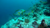 plectorhinchus : school of Oriental Sweetlips - Plectorhinchus vittatus swims over coral reef, Indian Ocean, Maldives Stock Footage