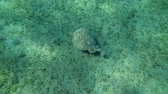 пантеры : Panther Electric Ray (Torpedo panthera) floats over the sandy bottom with overgrown sea grass, Red sea, Marsa Alam, Abu Dabab, Egypt Стоковые видеозаписи