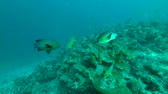 plectorhinchus : massive school of tropical fish swim over coral reef, Indian Ocean, Maldives Stock Footage