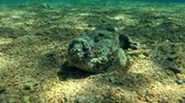 toxicant : Stonefish lies on the sandy bottom, Red sea, Dahab, Sinai Peninsula, Egypt
