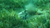 toxicant : Stonefish (Synanceia verrucosa) buries into sand on the green seagrass, Red sea, Dahab, Sinai Peninsula, Egypt Stock Footage