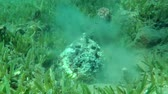toxicant : Stonefish hides into the green seagrass, Red sea, Dahab, Sinai Peninsula, Egypt