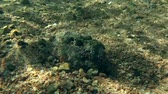 toxicant : Stonefish (Synanceia verrucosa) hides into the sand, Red sea, Dahab, Sinai Peninsula, Egypt Stock Footage