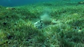 dahab : Stonefish (Synanceia verrucosa) buries into sand on the green seagrass, Red sea, Dahab, Sinai Peninsula, Egypt Stock Footage