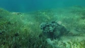 toxicant : Stonefish buries into sand on the green seagrass, Red sea, Dahab, Sinai Peninsula, Egypt Stock Footage