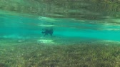 dahab : Black dog running around the seabed covered with green algae (underwater view), Red sea, Dahab, Sinai Peninsula, Egypt Stock Footage