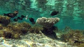 dahab : shoal of tropical fish swims in shallow water near coral reef is reflected from the water surface Stock Footage