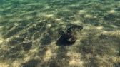 toxicant : Stonefish swimming over the sandy bottom, Red sea, Dahab, Sinai Peninsula, Egypt Stock Footage