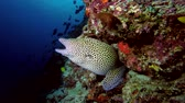 muraenidae : Honeycomb Moray on the coral reef