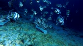 остатки : school of Bannerfish eating the remains of tuna and other fishery wastes thrown into the ocean, night, Indian Ocean, Maldives