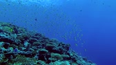 fusilier : Large school of Yellowback Fusilier swims over top coral reef