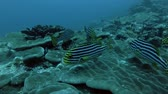 plectorhinchus : school of Oriental Sweetlips swims over coral