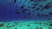 černoch : Big school of Yellowfin Surgeonfish - Acanthurus xanthopterus swim over reef under boat