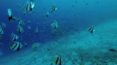 remora : School of Bannerfish and school of Remora fish swims on the blue water - Indian Ocean, Maldives Stock Footage