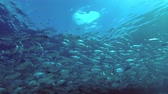 массивный : Massive school of Bayad - Caranx sexfasciatus swims under surface of water