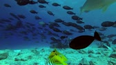 černoch : Big school of Yellowfin Surgeonfish - Acanthurus xanthopterus swim over reef