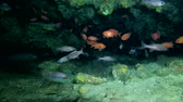 sea caves : Life in the cave, school of Pinecone Soldierfish - Myripristis murdjan and school of Largetoothed Cardinalfish - Cheilodipterus macrodon swims in the cave