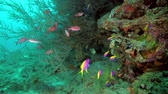 askerler : school of Yellowback Anthias - Pseudanthias evansi and school of Pinecone Soldierfish - Myripristis murdjan swims near black coral