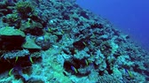 okula geri : School of Yellowback Fusilier - Caesio xanthonota swims above the slope of coral reef