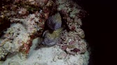 maldivas : Two Honeycomb Moray - Gymnothorax favagineus peek out of the hole