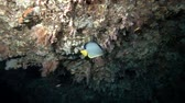 imperial : Emperor Angelfish - Pomacanthus imperator swims upside down under the ceiling of the cave Stock Footage