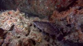 small animal : Whitespotted grouper, Epinephelus coeruleopunctatus swim near coral reef Stock Footage