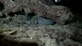 lampart : Two Pink whiprays - Himantura fai swim over moray eels in the night