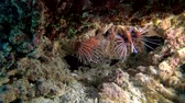toxicant : Lionfish of different species are hidden under the coral - Indian Ocean, Maldives