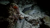 group of animal : group Honeycomb Moray eels - Gymnothorax favagineus in the night