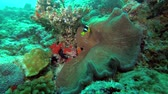 gigantesco : Clarks anemonefish - Amphiprion clarkii and Giant carpet anemone - Stichodactyla gigantea