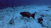 deniz yaşamı : Leopard Grouper - Plectropomus pessuliferus, Indian Ocean, Maldives Stok Video
