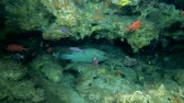 borovice : Life in the cave, Camouflage Grouper - Epinephelus polyphekadion in the cave