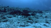 wild life : Leopard Grouper - Plectropomus pessuliferus, Indian Ocean, Maldives Stock Footage