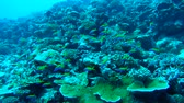 массивный : Massive school of anthias swims over coral reef, Yellowback Anthias - Pseudanthias evansi. Indian Ocean, Fuvahmulah island, Maldives, Asia
