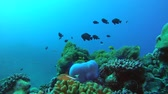 banded : school of damselfish swim over anemone, Humbug Dascyllus - Dascyllus aruanus and Magnificent Sea Anemone - Heteractis magnifica. Indian Ocean, Fuvahmulah island, Maldives, Asia Stock Footage