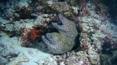 muraenidae : Two of Honeycomb Moray - Gymnothorax favagineus. Indian Ocean, Maldives