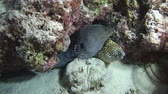 girafa : Two Morays with cleaner shrimp, Giant moray - Gymnothorax javanicus, Honeycomb Moray - Gymnothorax favagineus and Indian Ocean, Maldives, Asia