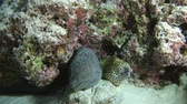 kozmopolita : Two Morays with cleaner shrimp, Giant moray - Gymnothorax javanicus, Honeycomb Moray - Gymnothorax favagineus and Indian Ocean, Maldives, Asia