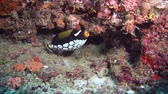 tygrys : Clown Triggerfish - Balistoides conspicillum near coral reef. Indian Ocean, Maldives, Asia Wideo