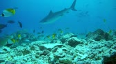 тигр : Tiger shark swim in blue water in shallow water - Indian Ocean, Fuvahmulah island, Maldives, Asia Стоковые видеозаписи