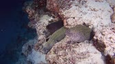petek : Group of Honeycomb Moray - Gymnothorax favagineus. Indian Ocean, Maldives