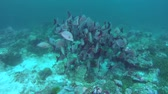 snapper : school of f Humpback Red Snapper - Lutjanus gibbus near coral reef. Indian Ocean, Maldives, Asia Stock Footage