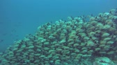 snapper : massive school of Humpback Red Snapper - Lutjanus gibbus flows down the slope of a coral reef. Indian Ocean, Maldives, Asia