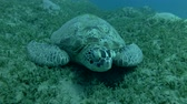 chelonia : Green sea turtle asleep lying on the sea grass (Chelonia mydas) Front shots, Close-up, Underwater shot, 4K  60fps Stock Footage