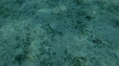 lampart : Leopard Flounder Bothus pantherinus swim over sandy bottom with seagrass, Red sea, Marsa Alam, Marsa Mubarak, Egypt (Underwater shot, 4K  60fps)