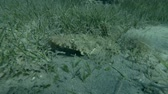 toxicant : Crocodilefish or Tentacled Flathead (Papilloculiceps longiceps) hiding among the seagrass (Underwater shot, 4K  60fps)