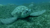 black sea turtle : Green sea turtle asleep lying on the sea grass (Chelonia mydas) Front shots, Close-up, Underwater shot, 4K  60fps Stock Footage