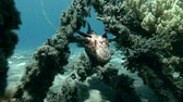 dorsz : Red Lionfish Pterois volitans resting on the wreck upside down (Underwater shot, 4K  60fps) Wideo