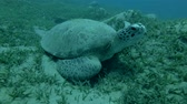 chelonia : Green sea turtle asleep lying on the sea grass, wakes up and swims to the top (Chelonia mydas) Front shots, Close-up, Underwater shot, 4K  60fps