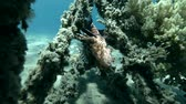 toxicant : Red Lionfish Pterois volitans resting on the wreck upside down (Underwater shot, 4K  60fps) Stock Footage